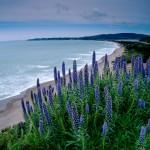 Landscape, Wildflowers blooming at Stinson Beach, Marin, California