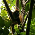 A spider monkey hangs from a tree near the El Remanso Lodge in Costa Rica. © Daniel Beltrá