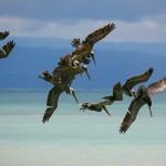 Brown Pelicans (Pelecanus occidentalis) pursue fish in the waters of the Golfo Dulce off the Osa Peninsula, Costa Rica. © Daniel Beltrá