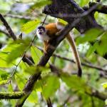 Squirrel monkey on the Osa Peninsula, Costa Rica. © Justin Black