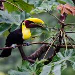 Chestnut-mandibled toucan at El Remanso conservancy, Osa Peninsula, Costa Rica. © Justin Black