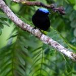 Blue-capped manakin at El Remanso conservancy, Osa Peninsula, Costa Rica. © Justin Black