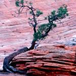 Ponderosa pine hugging a sandstone hoodoo, Zion National Park, Utah