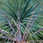 Sotol and agave, Santa Catalina State Park
