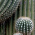 Twisted and emerging saguaro limbs