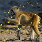 VeronicaCoetzer_Baboon-catching-Butterflies_AfricanWildlife