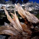 """Whitebark root system, Cirque of Towers, Bridger Wilderness, Wind River Range"