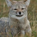 Patagonia grey fox