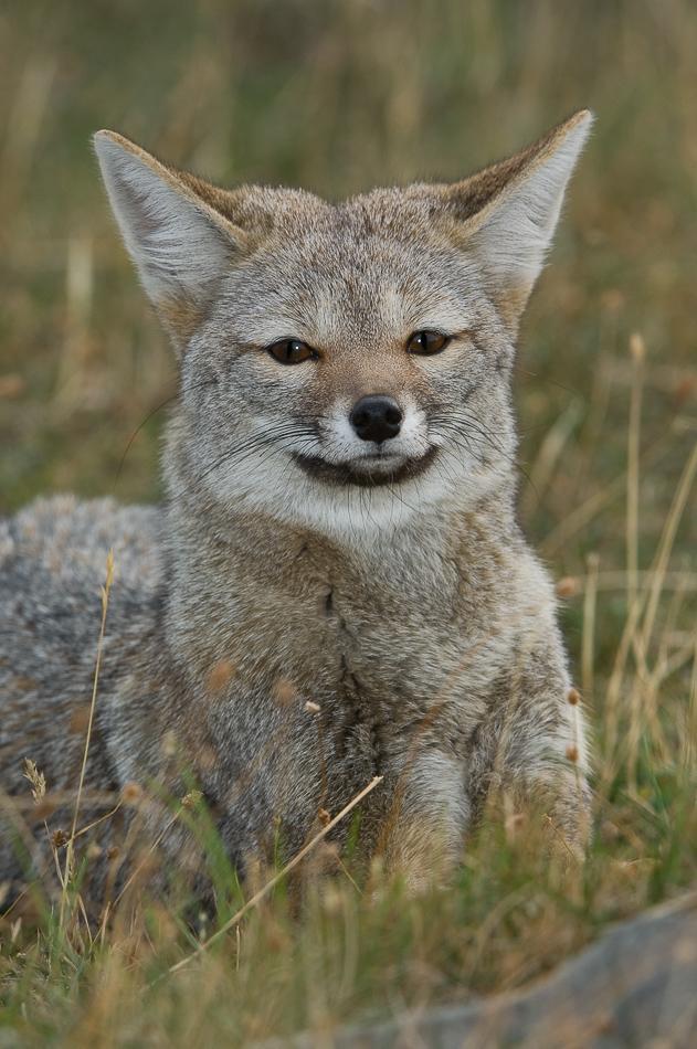 Visionarywild Com Patagonia Grey Fox