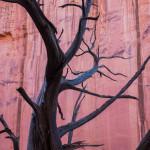 Juniper snag in Long Canyon, Grand Staircase-Escalante National Monument, Utah