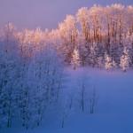 Ice Covered aspen, Dixie National Forest, Utah