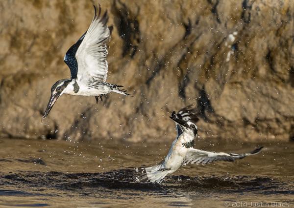 Pied kingfishers fighting over fish, Chobe River, Botswana. Nikon D810, 500mm f/4 + TC-14EII (700mm), ISO 1250, 1/2000 sec @ f/8. Photo © 2014 Justin Black.