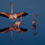 American flamingos, Galapagos Islands, Ecuador