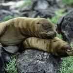 Galapagos Sea Lions, Galapagos Islands, Ecuador
