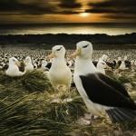 Black-browed albatross, Falkland Islands, UK