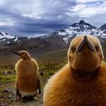King Penguin chicks, South Georgia Island, UK