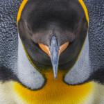 King penguin(s), South Georgia Island