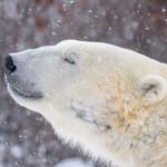 Polar Bears – Eye to Eye