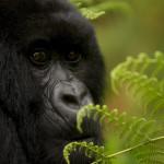 Close-up view of an endangered mountain gorilla (Gorilla gorilla beringei).