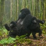 Gorilla in the Mountains, Rwanda #2