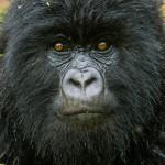 Gorilla in the Mountains, Rwanda