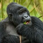Gorilla, Sabyinyo, Rwanda