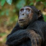 Chimpanzee Portrait, Mahale, Tanzania #2