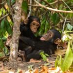 Chimpanzees, Mahale, Tanzania