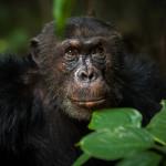 Chimpanzee Portrait, Mahale, Tanzania