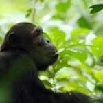 Side View of Chimpanzee at Nomads Greystoke Camp, Mahale, Tanzania