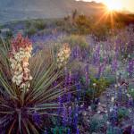 Big Bend National Park, Texas / Torrey yuccas Yucca torreyi, in bloom amid hillsides of flowering Big Bend Bluebonnet, Lupinus harvardii, at dawn in Chisos Mountains.