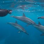 Spinner dolphins (Stenella longirostris)